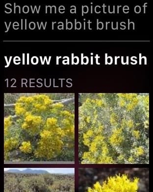 Show me a picture of yellow rabbit brush