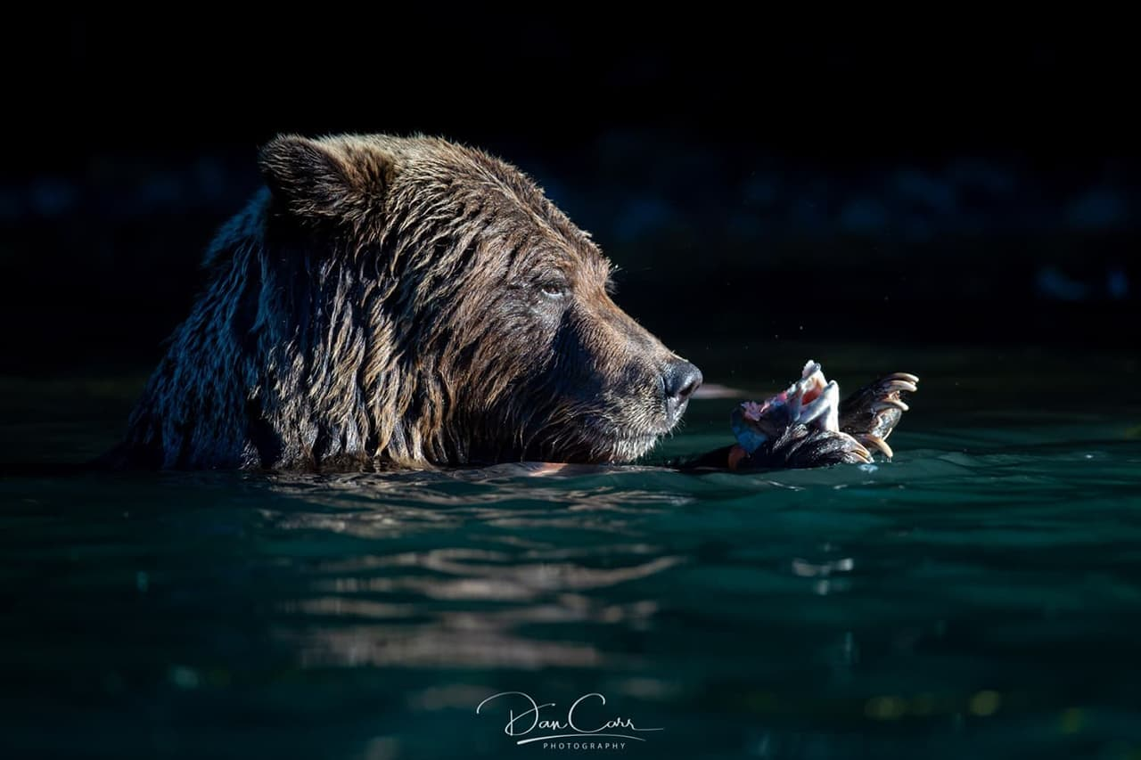 Photo of a Bear in water at night catching a salmon. Photographed by Dan Carr.