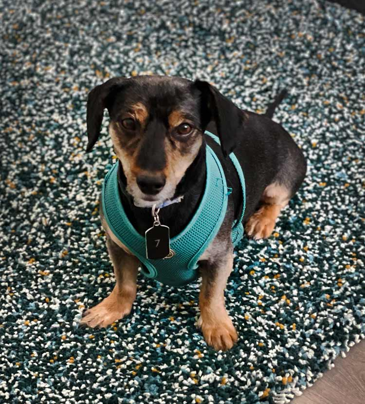 Small Brown Dog with a blue-green harness